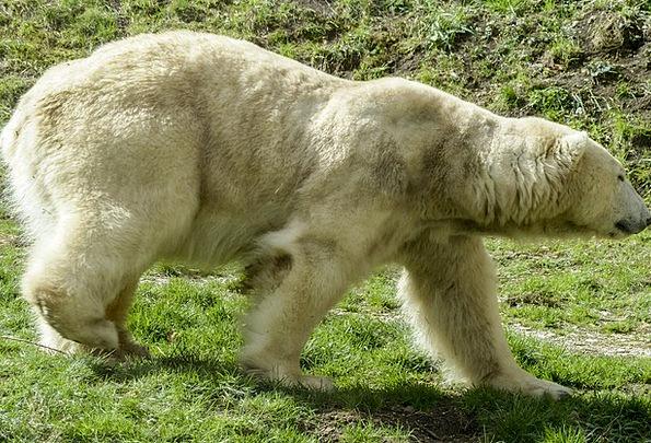 Polar Bear Tolerate Female Feminine Bear Endangere