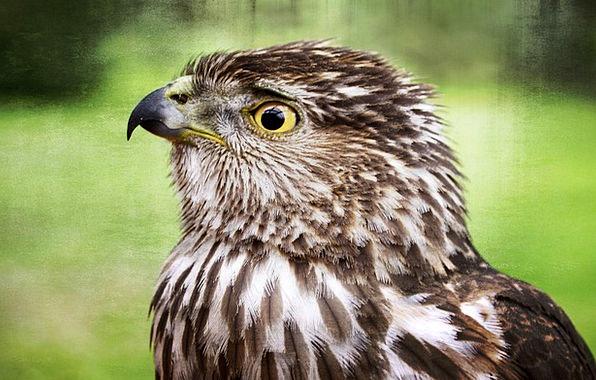 Falcon Fowl Wild Rough Bird Animal Physical Feathe