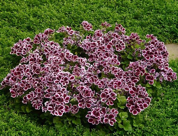 Edelgeranie Geranium Greenhouse Geranium Ornamenta