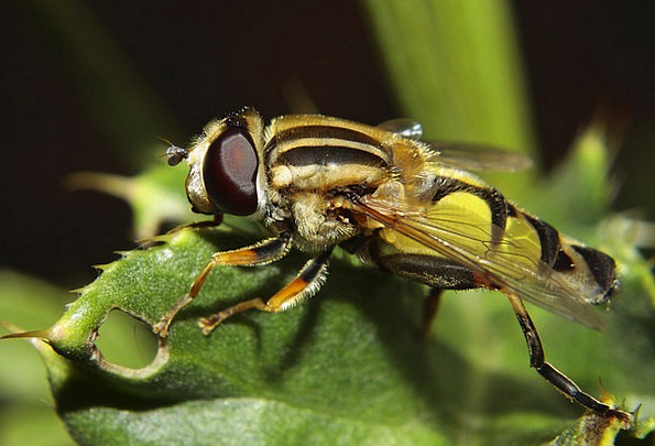 Hoverfly Bug Macro Instruction Insect Large Campes
