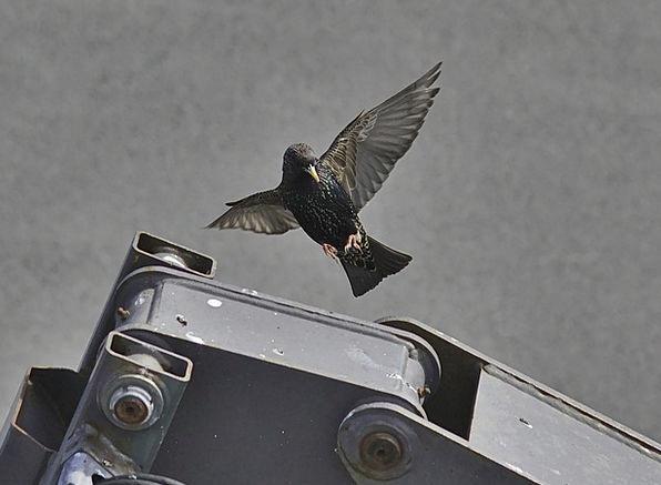 Starling Fowl Common Shared Bird Wild Rough Animal