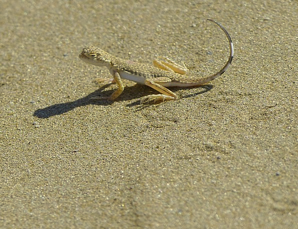Animal Physical Disguised Camouflaged Lizard Sand