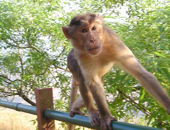 India Landscapes Ape Nature Wild Rough Monkey Chee