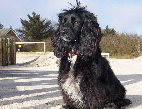 Cocker Spaniel Canine Black Dark Dog Pet Domestica