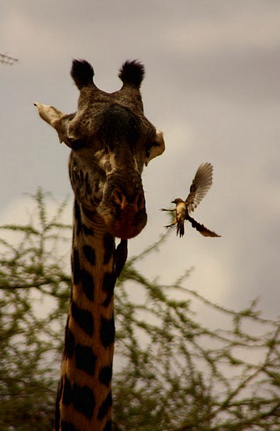 Giraffe Fowl Friends Networks Bird Kenya Animal Ph