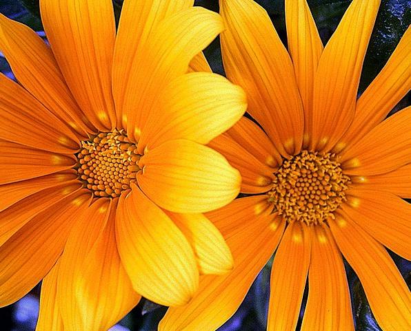 Orange Carroty Creamy Flower Floret Yellow