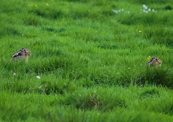 Pasture Meadow Lawn 2 Rabbits Grass Hidden Conceal
