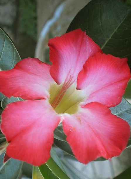 Adenium Landscapes Flushed Nature Pink Flower Pink