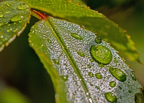 Drop Of Water Aquatic Leaves Greeneries Water Morg