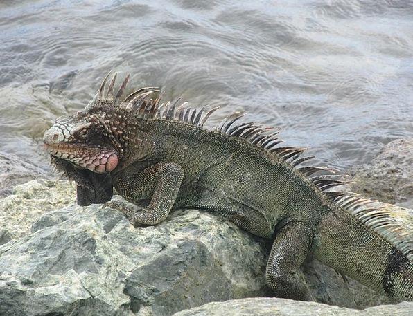 Iguana Reptile Lizard Exotic Wildlife Nature Creat