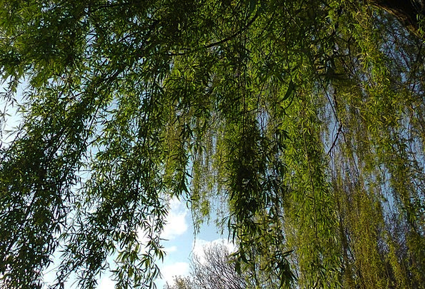 Weeping Willow Meadow Baumm Pasture Willow Tree Lo