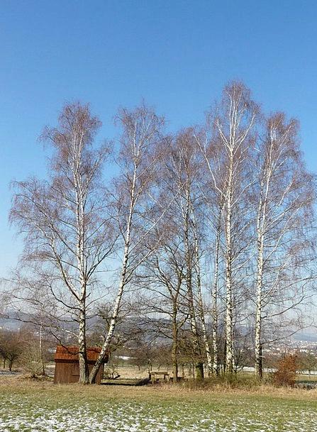 Birch Cane Landscapes Nature Trees Plants Birch Gr