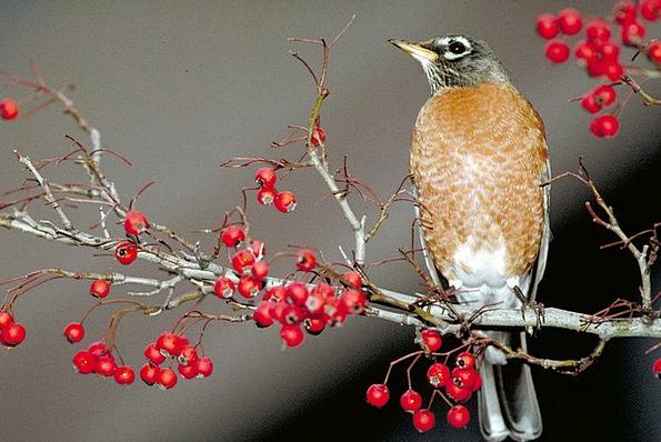 American Robin Fowl Perched Balanced Bird Songbird