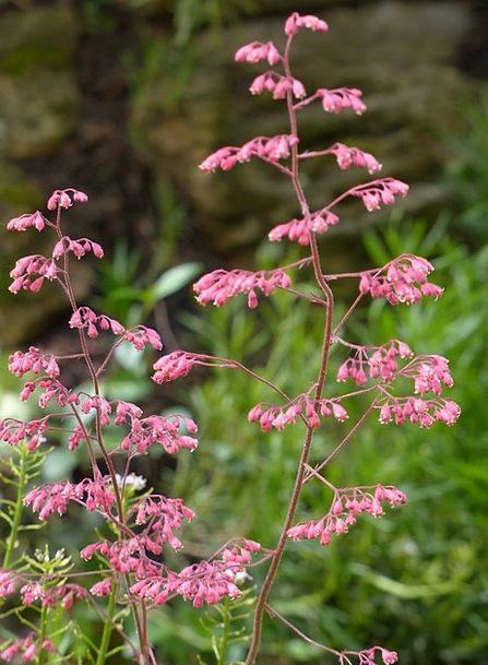 Coral Bells Floret Bloom Flower Long Bronze Bells