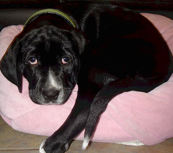 Golmation Mix Combination Dog Pet Golden Retriever Animal