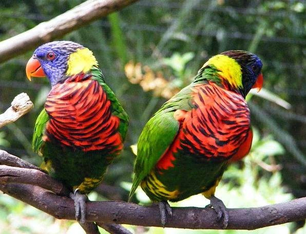 Birds Natures Imitators Parakeets Parrots Colorful