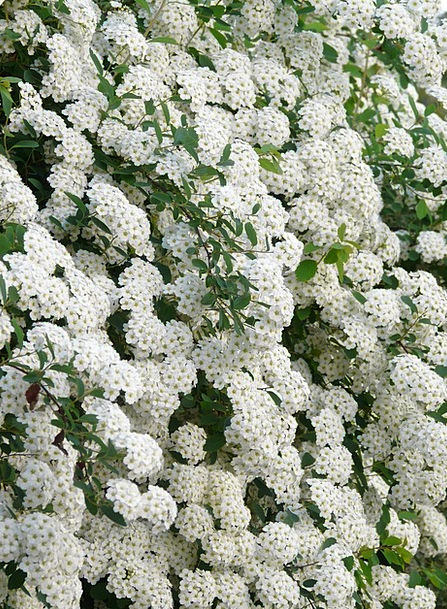 Glory Spierstrauch Plants White Snowy Flowers On T