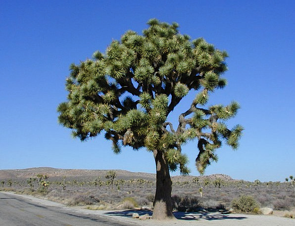 Joshua Sapling Joshua Tree National Park Tree Nati