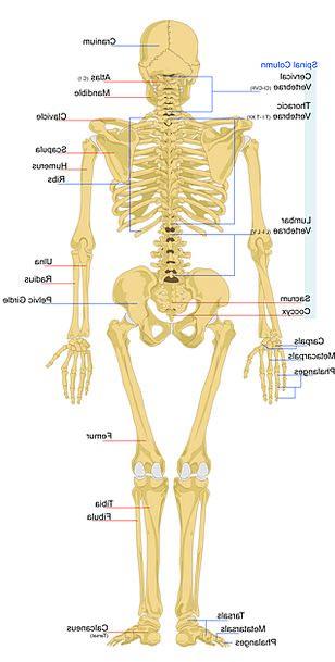 Skeleton Minimum Medical Humanoid Health Anatomy S