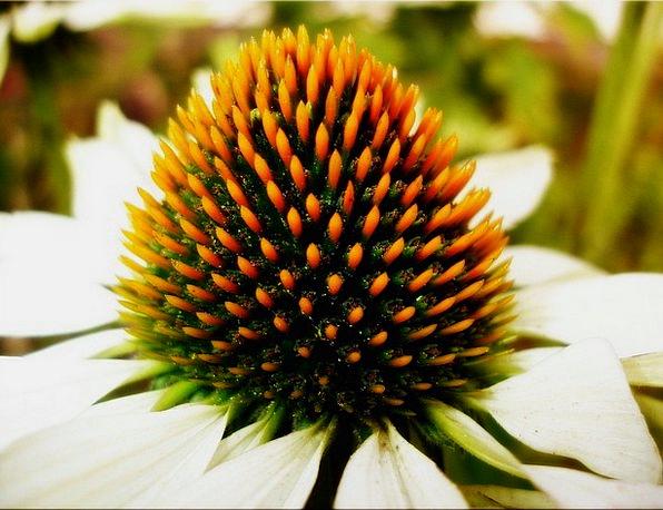 Garden Plot Floret Summer Straw-hat Flower Close N