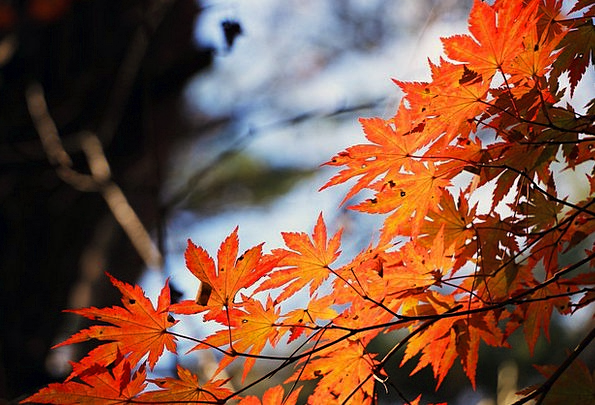Red Maple Leaf Fall Autumn Leaves Autumn Wood Timb