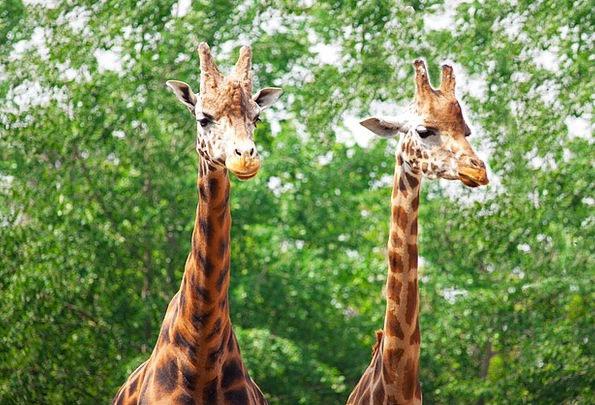 Africa Animal Physical African Safari Couple Twoso