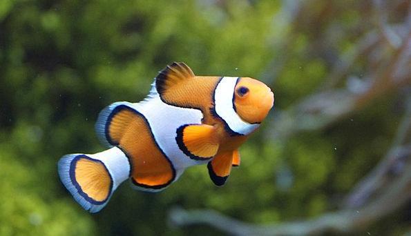 Clownfish, Fish, Angle, Anemonefish, Sea, Marine, Underwater