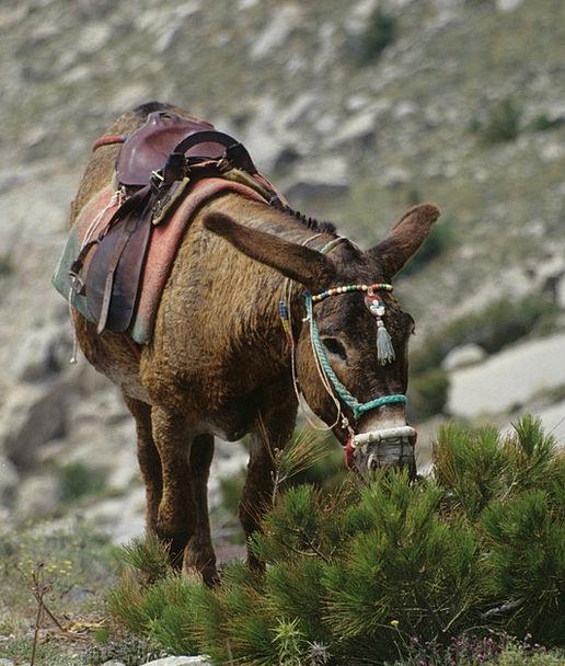 Donkey Greece Mule Animal Physical