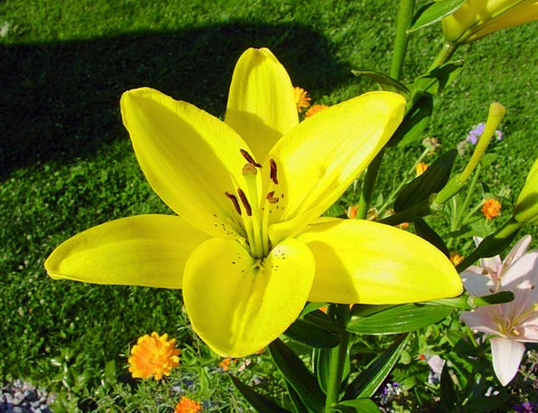 Lily Floret Yellow Creamy Flower Bloom