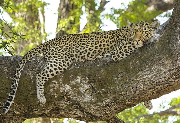 Leopard Big Cat Wildcat Safari Trek Cat Botswana A