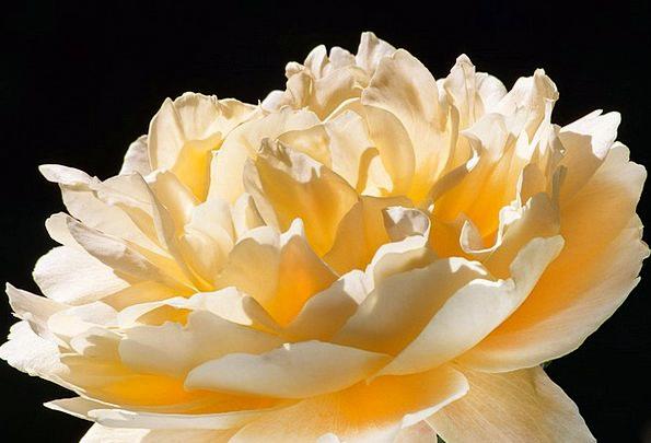 Rose Design Flushed Yellow Creamy Pink Rose Breedi