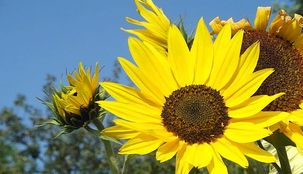 Sunflower Cheerful Yellow Creamy Bright Sun Colorf