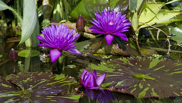 Water Lilies Landscapes Elaborate Nature Violet Ma