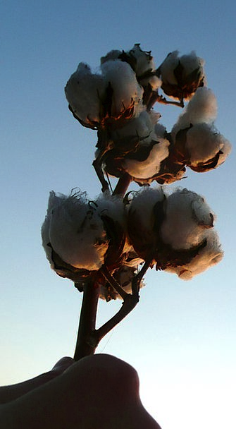 Cotton Yarn Craft Industry Agriculture Farming Har