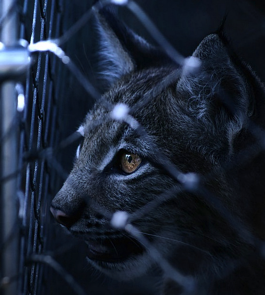 Lynx Wedged Imprisoned Confined Caught Cat Fence B
