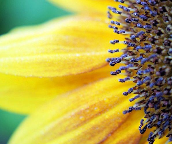 Sunflower Landscapes Creamy Nature Flower Floret Y