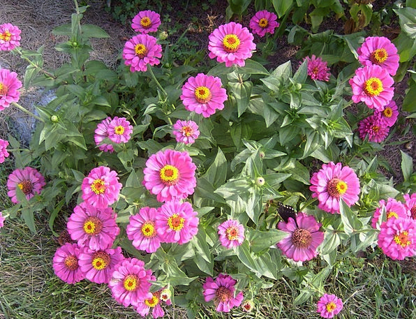 Zinnia Pink Flushed Flowers Blooming Plants Florae