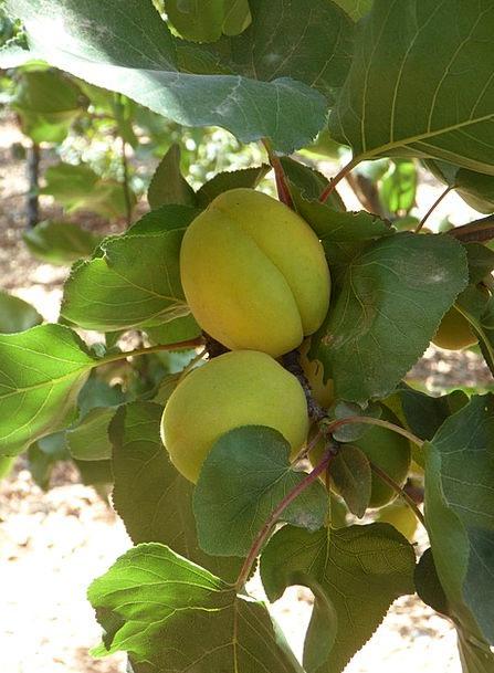 Apricot Drink Food Tree Sapling Apricots Apricot T
