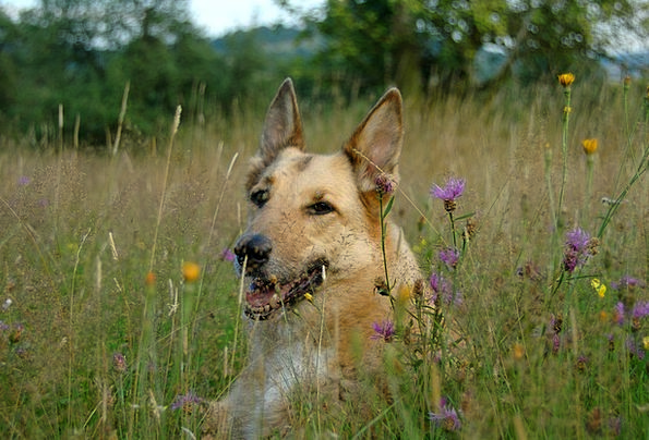 Dog Canine Field Animal Physical Meadow Flower Mea