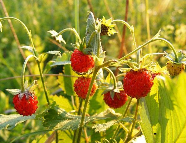 Fragaria Landscapes Vegetable Nature Rosaceae Plan