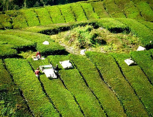 Tea Plantation Landscapes Nature Tea Drink Tea Far