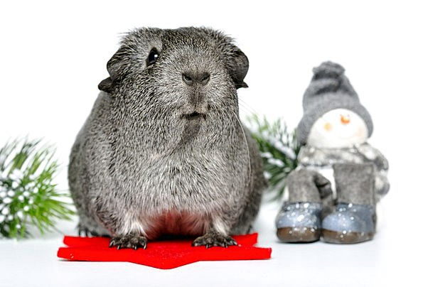 Silver Gray Small Animals Rodents Nager Guinea Pig