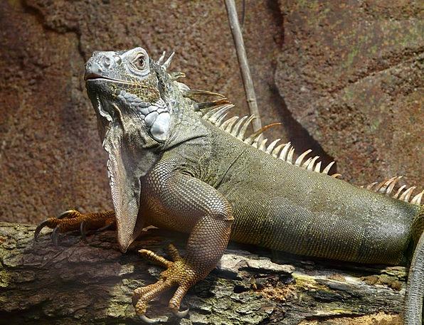 Iguana Lime Lizard Green Dewlap Kaltblut Scale Rep