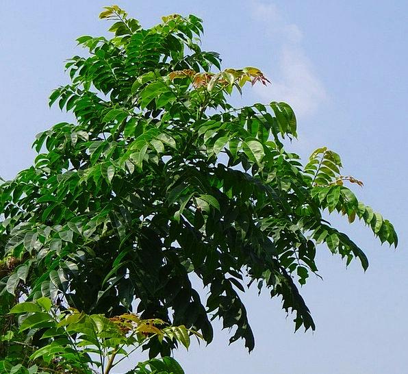 Indian Hog Plum Aamraata Ambada Tree Sapling India Spondias
