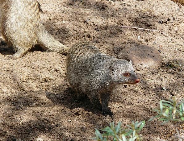 Banded Mongoose Mammal Mungos Mungo Mongoose Atten
