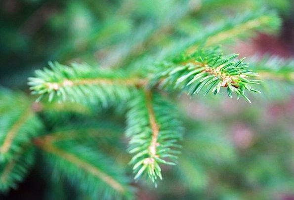 Branch Division Landscapes Nature Coniferous Conif