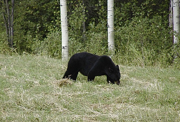 Bear Tolerate Dark Animal Physical Black Carnivore