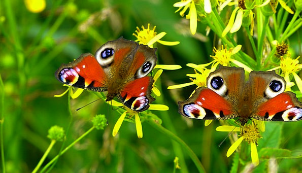 Inachis Io Landscapes Nature Butterfly Peacock But