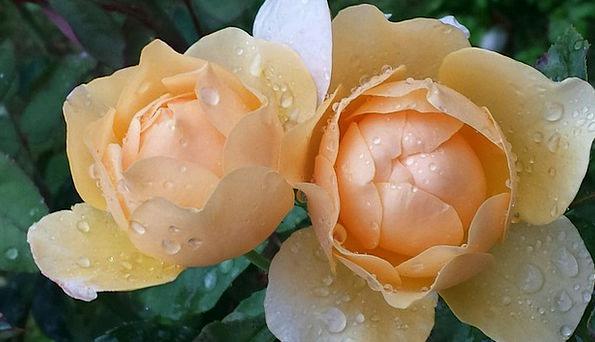 Roses Designs Drop Of Water Raindrop Rose Bloom Fl
