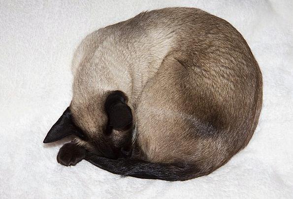 Siamese Cat Cat Feline Thai Siam Dormant Siamese S